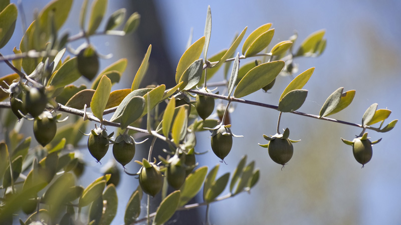 Base oil of the month - Jojoba