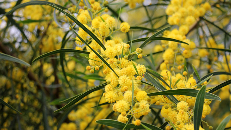 Essential oil of the month - Mimosa