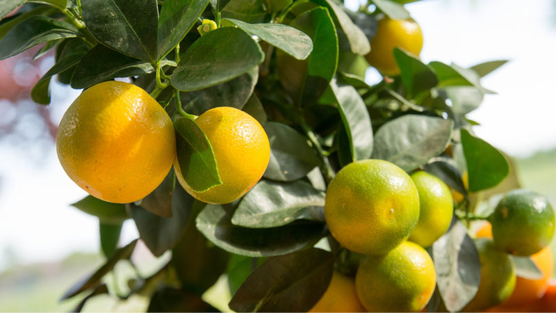 Essential oil of the month - Mandarin