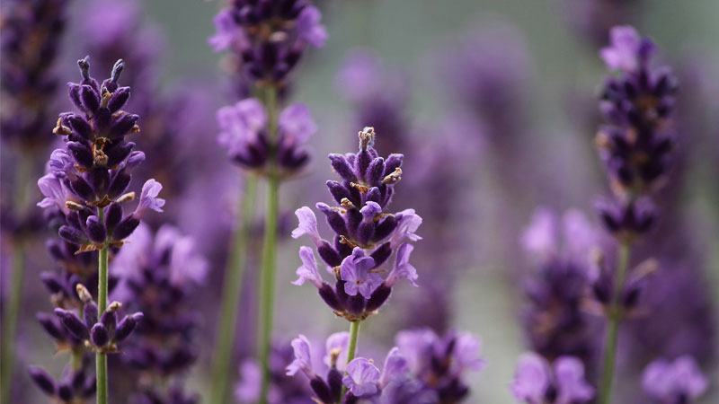 aromatherapy-blog - Exploring the Lamiaceae plant family and